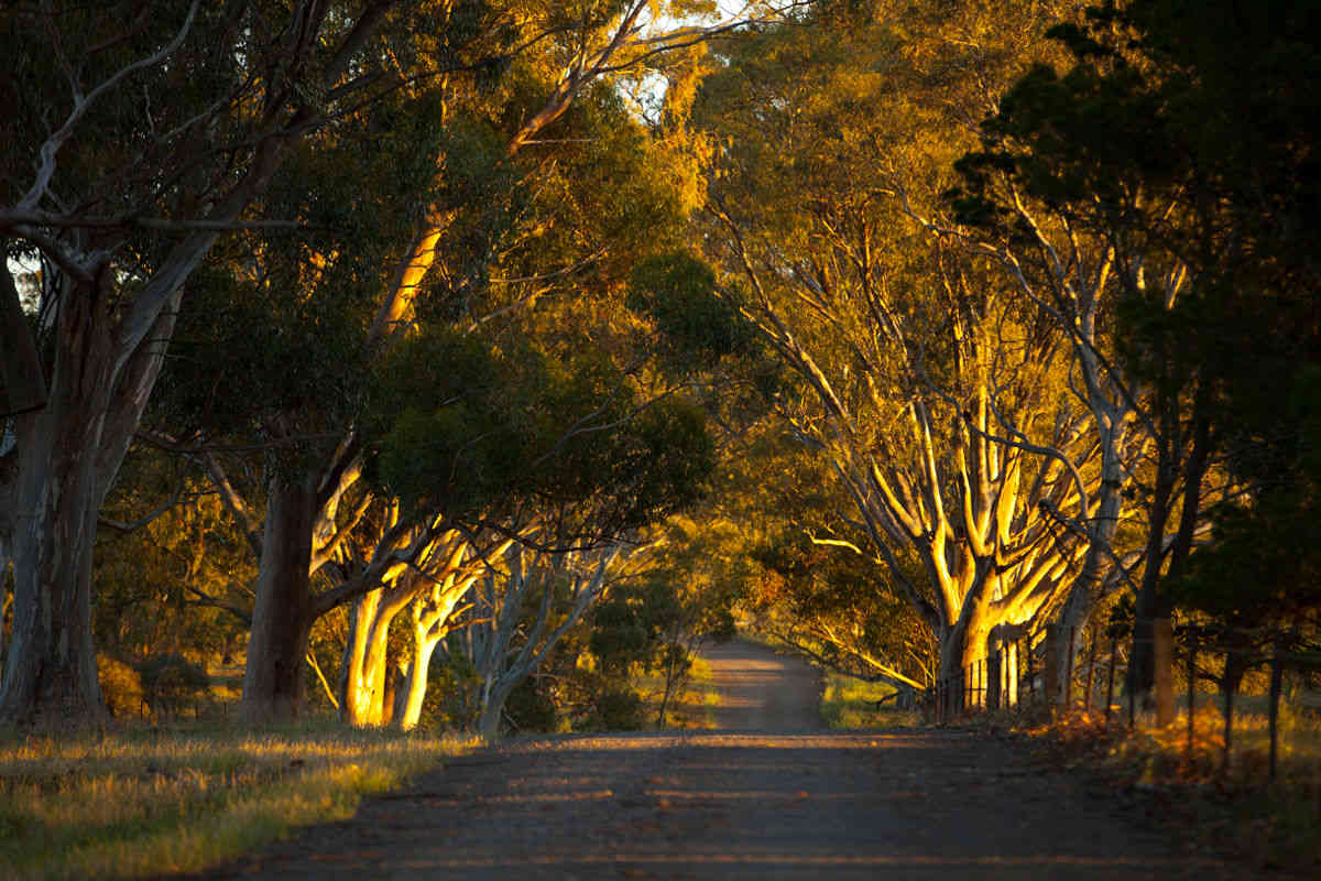 Anlabys Magnificent Eucalypt Driveway to Greet You